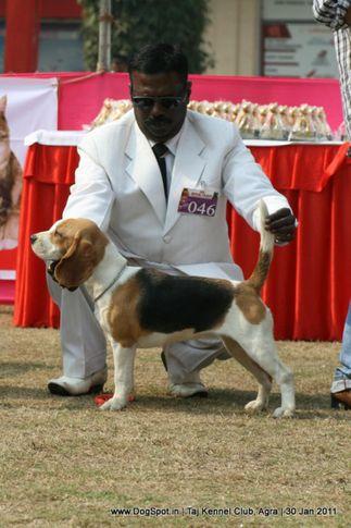 beagle,ex-46,sw-31,, WINALL'S BAASIMA, Beagle, DogSpot.in