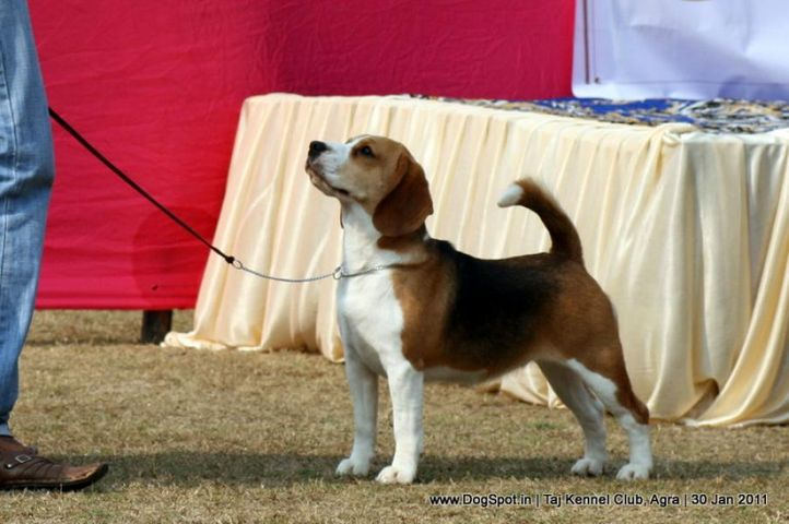 beagle,ex-47,sw-31,, RUBSON'S MARCHING MACHINE, Beagle, DogSpot.in