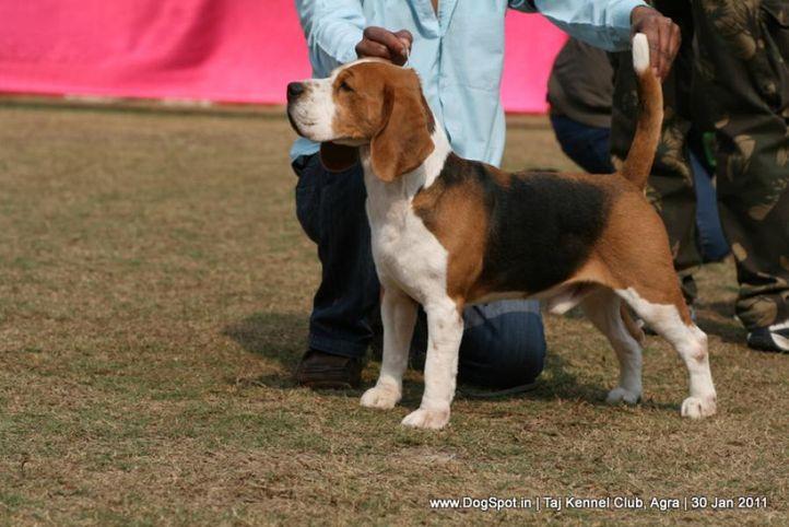 beagle,ex-48,sw-31,, TH.AM.CH.LEGACY'S SPEAKEASY, Beagle, DogSpot.in
