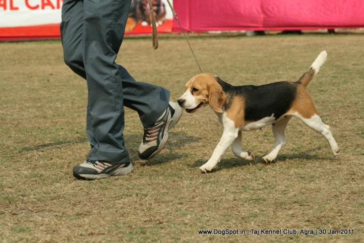 beagle,ex-49,sw-31,, BLUE BELL'S CHILLY PEPPER, Beagle, DogSpot.in