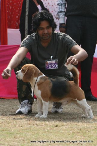 beagle,ex-50,sw-31,, ID. TH. & AM. THE WIZARD OF OZ, Beagle, DogSpot.in