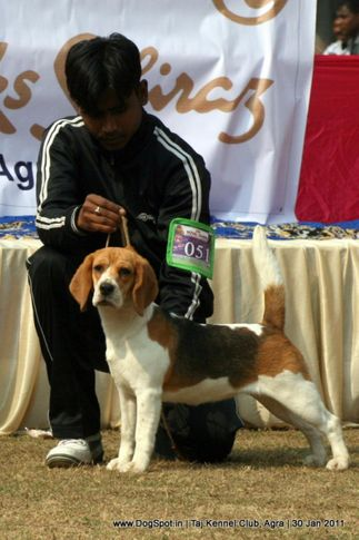 beagle,ex-51,sw-31,, SHYAMBIR'S SHADOW, Beagle, DogSpot.in