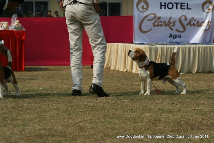 beagle,ex-53,sw-31,, BLUE BELL'S HIPPY, Beagle, DogSpot.in