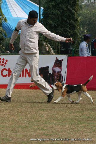 beagle,ex-55,sw-31,, BLUEBELLS ALICE, Beagle, DogSpot.in