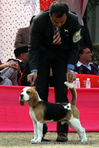 beagle,ex-56,sw-31,, BLUE BELL'S CHETAK OF BIMROS, Beagle, DogSpot.in