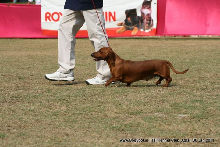 dachshund,ex-62,sw-31,, SPANDAN'S BOLT FROM THE BLUE, Dachshund Standard- Smooth Haired, DogSpot.in