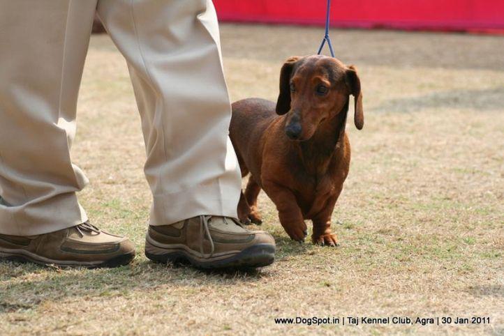 dachshund,ex-63,sw-31,, HACINDA DESSERT ORCHID, Dachshund Standard- Smooth Haired, DogSpot.in