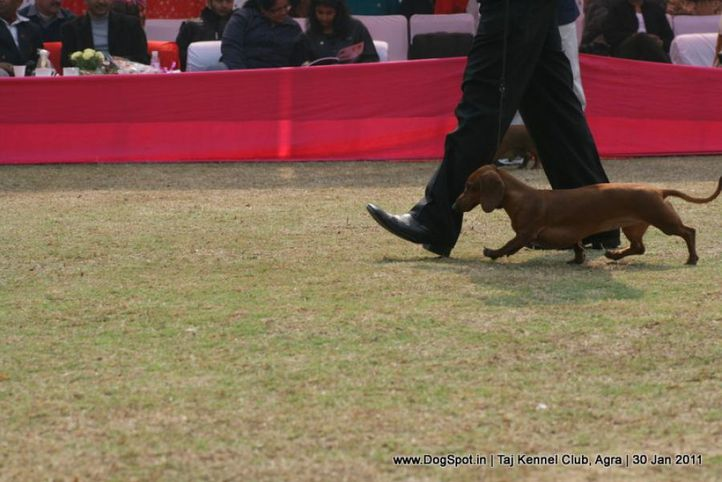 dachshund,ex-65,sw-31,, DEYWOO'S EXCELL MAGIC, Dachshund Standard- Smooth Haired, DogSpot.in