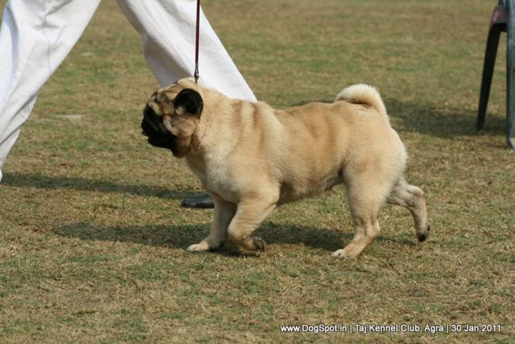 pug,sw-31,, Agra Dog Show 2011, DogSpot.in