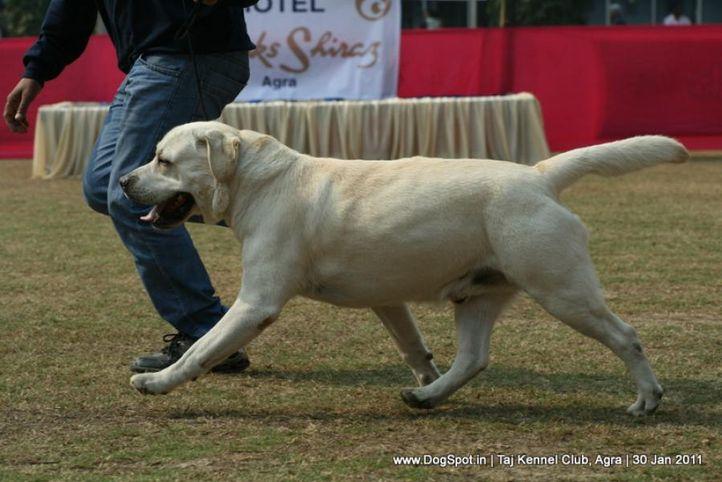 ex-77,labrador,sw-31,, KILSTRON CALL ME BOND FOR CHENMOS, Labrador Retriever, DogSpot.in