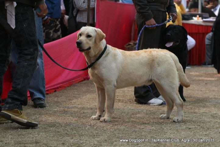 ex-106,labrador,sw-31,, SUNSHINE ROLEX, Labrador Retriever, DogSpot.in