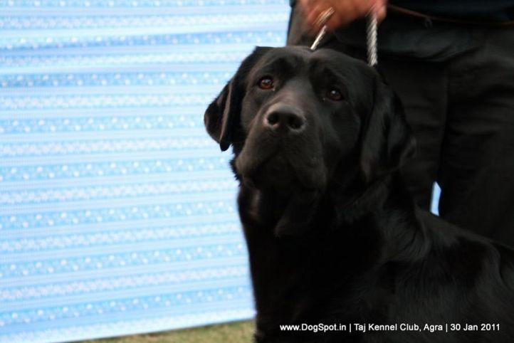 ex-108,labrador,sw-31,, CH ALGROM QUINCY, Labrador Retriever, DogSpot.in