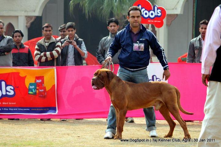 mastiff,sw-31,, Agra Dog Show 2011, DogSpot.in
