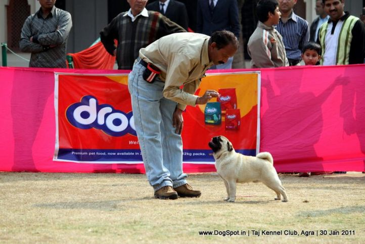 ex-9,pug,sw-31,, SHIV VEDS ANNAK, Pug, DogSpot.in