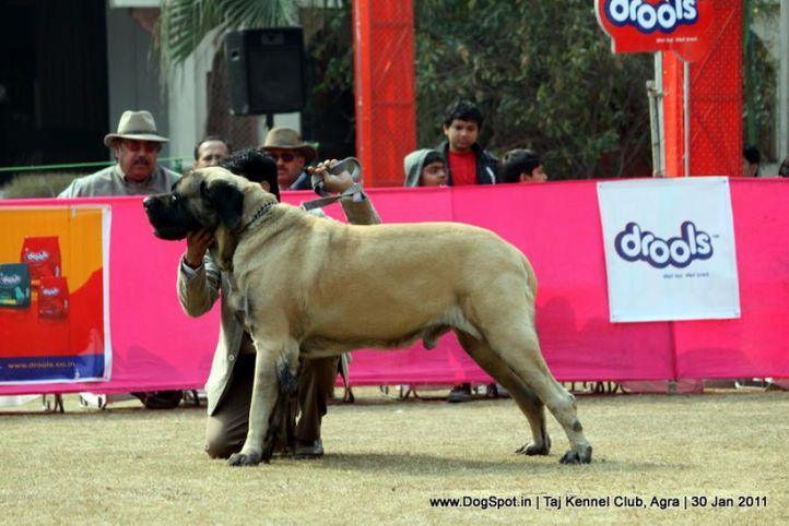 ex-148,mastiff,sw-31,, SANGWAN'S AFLATOON, Mastiff- English, DogSpot.in