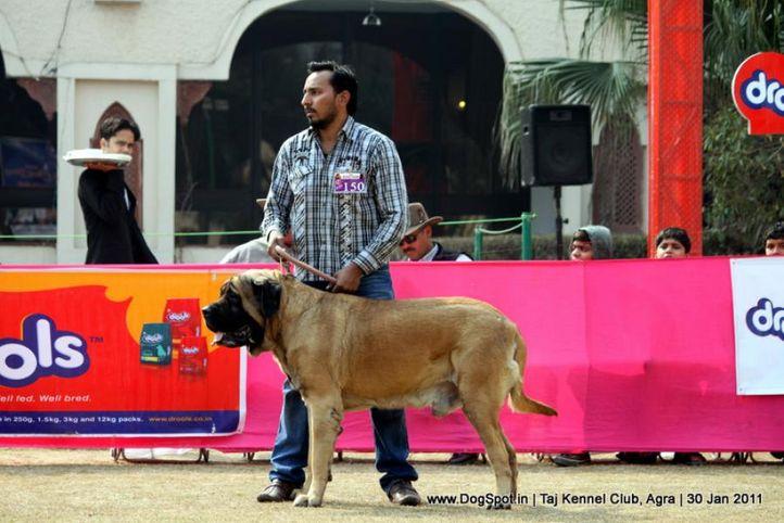 ex-150,mastiff,sw-31,, SIMBA OF VARIETY, Mastiff- English, DogSpot.in