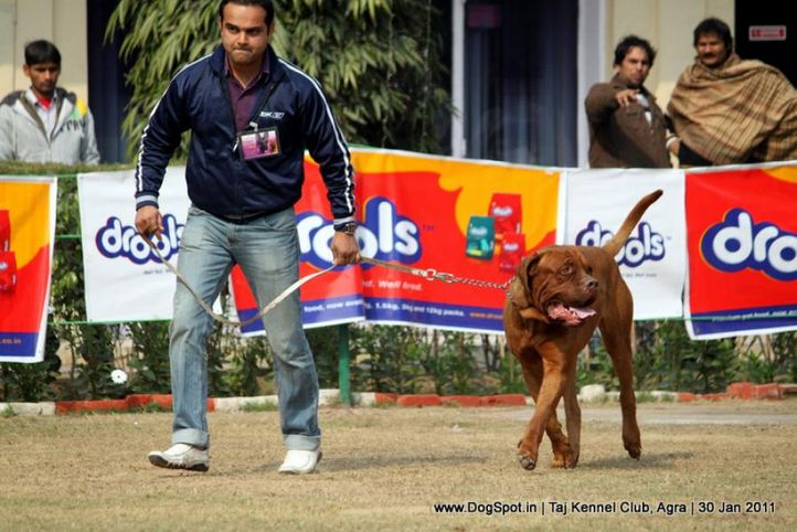 mastiff,sw-31,, Agra Dog Show 2011, DogSpot.in