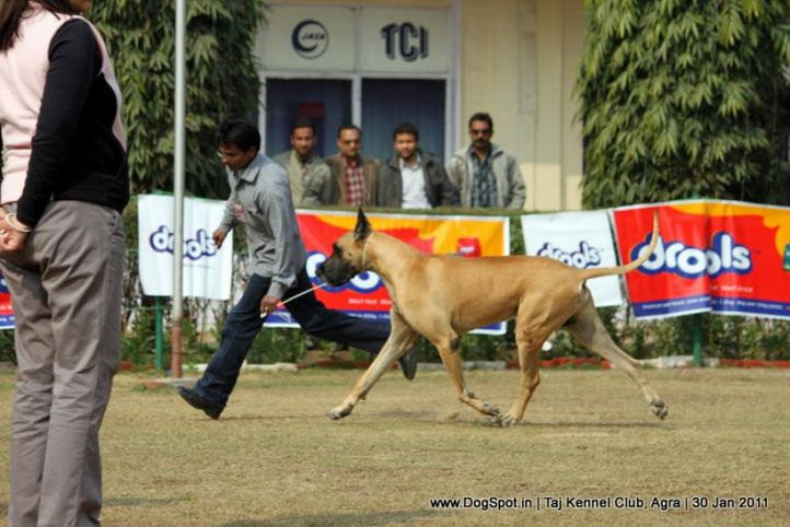 ex-143,great dane,sw-31,, SUMALIK'S DANGEROUS KILLER, Great Dane, DogSpot.in