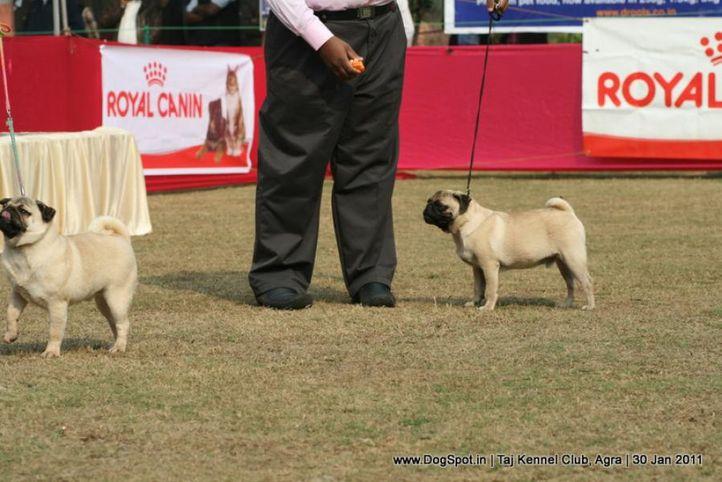 ex-13,pug,sw-31,, TANGETOPPPEN'S WILD WINNER, Pug, DogSpot.in
