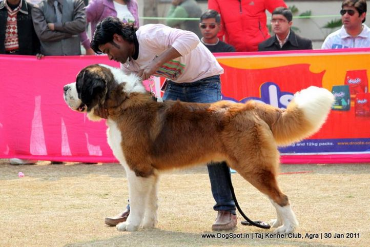st bernard,sw-31,, Agra Dog Show 2011, DogSpot.in