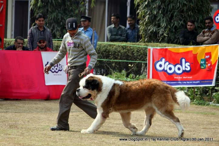 ex-180,st bernard,sw-31,, RELIABLE'S ARCHER, Saint Bernard, DogSpot.in