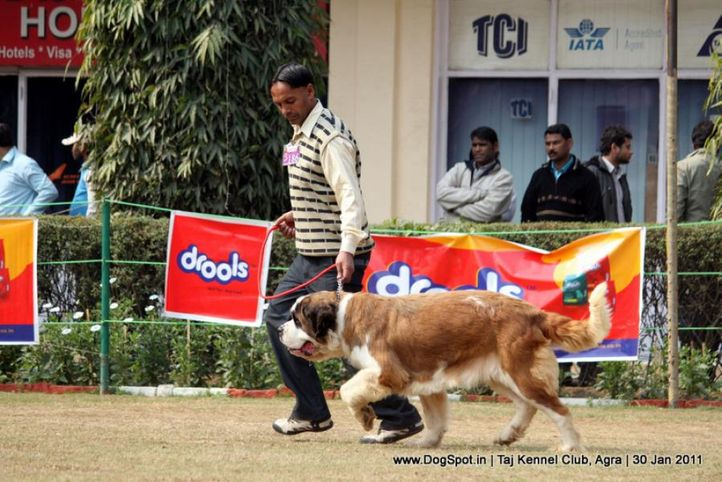 ex-186,st bernard,sw-31,, Agra Dog Show 2011, DogSpot.in