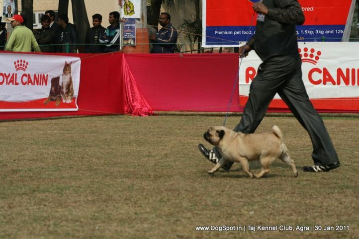 ex-19,pug,sw-31,, CHARMING GIRL, Poodle- Toy, DogSpot.in