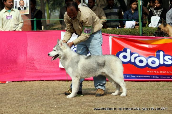 ex-193,siberian,sw-31,, ONLY SIBERIAN SILVER PRINCE, Siberian Husky, DogSpot.in