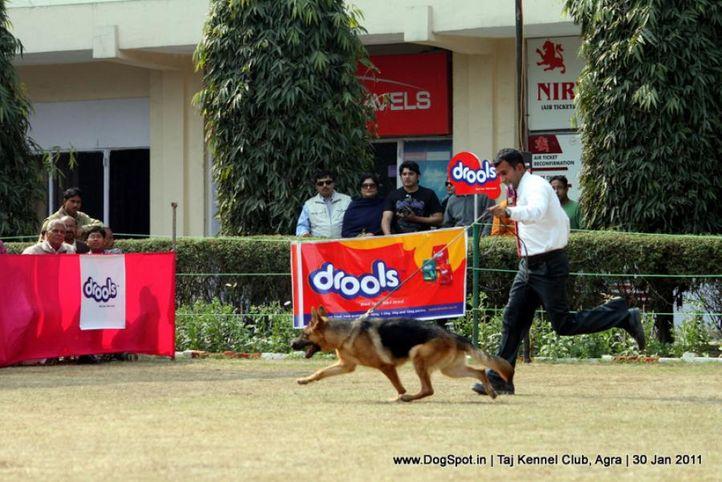 gsd,sw-31,, Agra Dog Show 2011, DogSpot.in
