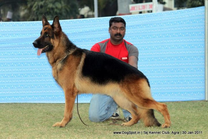 gsd,sw-31,, Agra Dog Show 2011, DogSpot.in