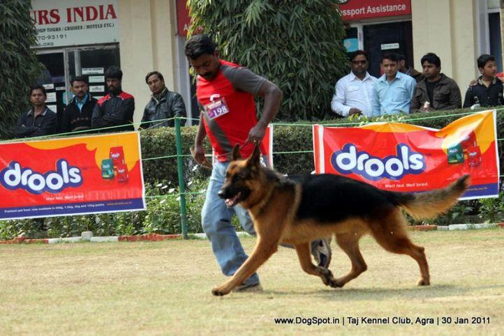 ex-198,gsd,sw-31,, ZARNO VON DER NORISWAND, German Shepherd Dog, DogSpot.in