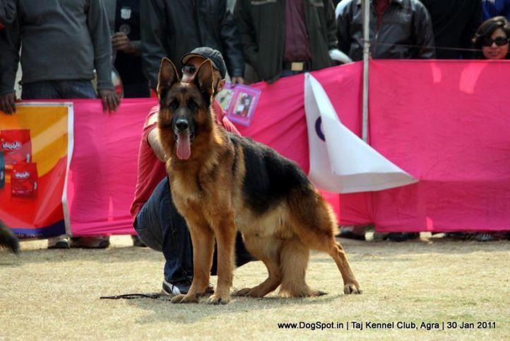 ex-201,gsd,sw-31,, NEXX VOM SUENTELSTEIN, German Shepherd Dog, DogSpot.in