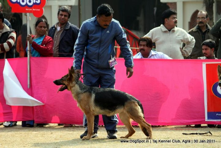 ex-204,gsd,sw-31,, LAMBA'S CHAMELI, German Shepherd Dog, DogSpot.in