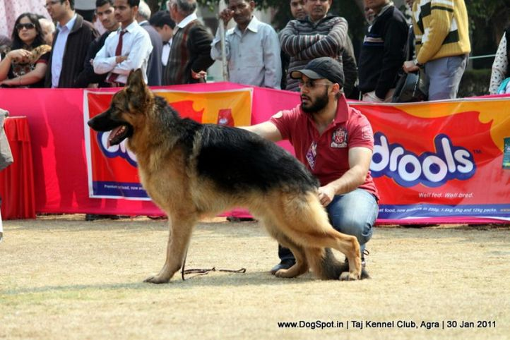 ex-206,gsd,sw-31,, Gio Vom Suentelstein, German Shepherd Dog, DogSpot.in