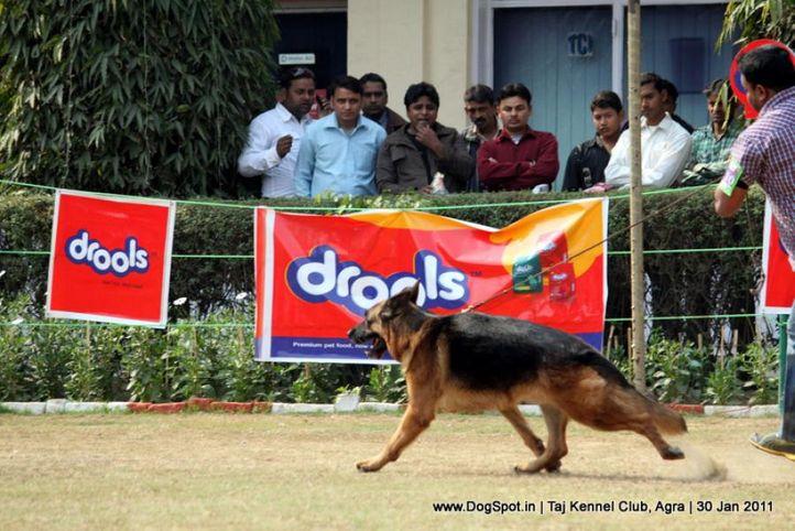 ex-210,gsd,sw-31,, EROS DELLE ANTICH MUSE, German Shepherd Dog, DogSpot.in