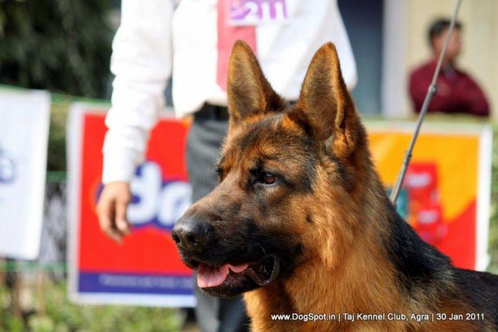 ex-211,gsd,sw-31,, WISKY FEETBACK, German Shepherd Dog, DogSpot.in
