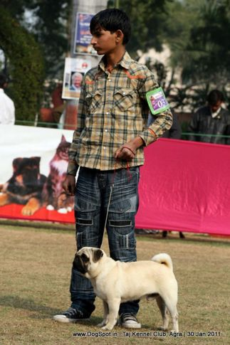 ex-31,pug,sw-31,, Ladoo Of Parnjal, Pug, DogSpot.in