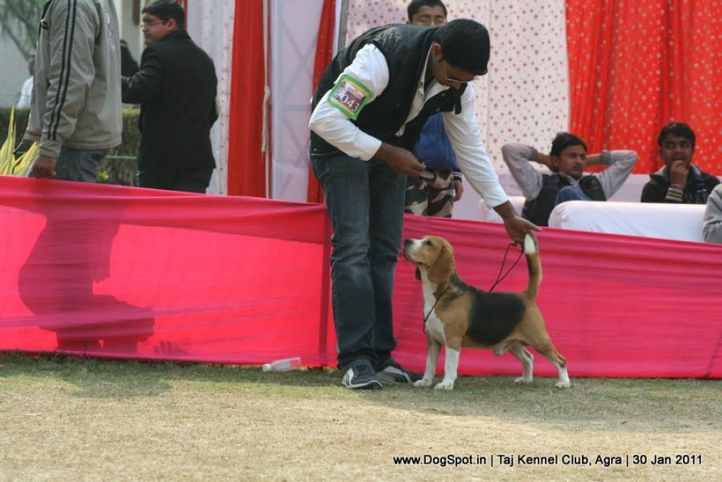 beagle,ex-43,sw-31,, Th. Ch. SHORVIEWS PUUPYLOVE MOONLIGHT, Beagle, DogSpot.in