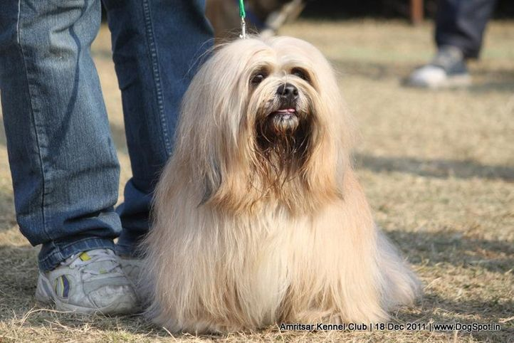 ex-69,lhasa,sw-46,, DHOOMI, Lhasa Apso, DogSpot.in