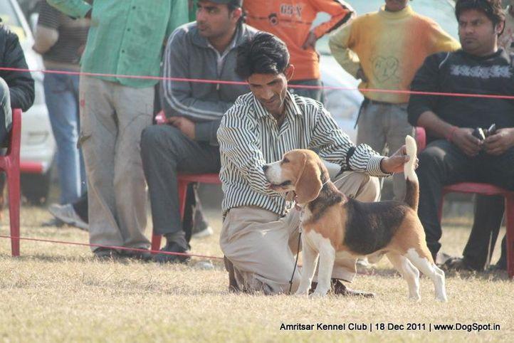 beagle,sw-46,, Amritsar 2011, DogSpot.in
