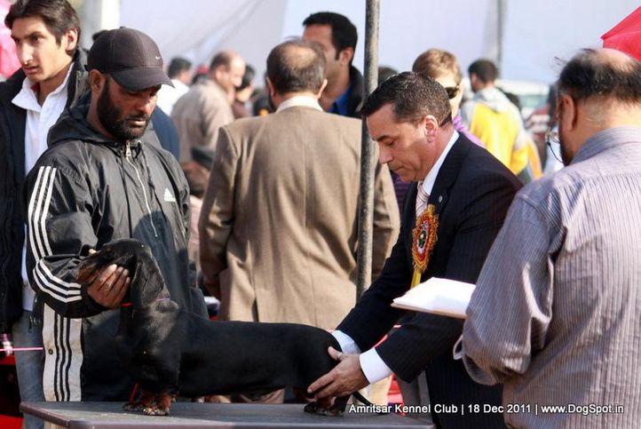 dachshund,ex-100,sw-46,, BLACK STALLION, Dachshund Standard- Smooth Haired, DogSpot.in