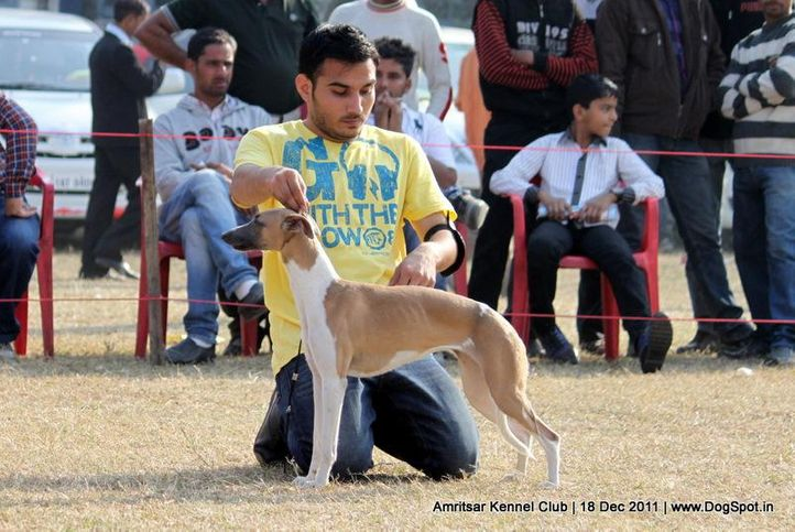 ex-103,sw-46,whippet,, CHIBBER'S CUTIE PIE, Whippet, DogSpot.in