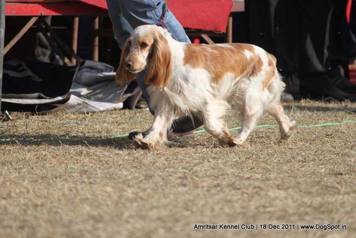 cocker,ex-145,sw-46,, BONNY OF WHEATFIELDS, Labrador Retriever, DogSpot.in