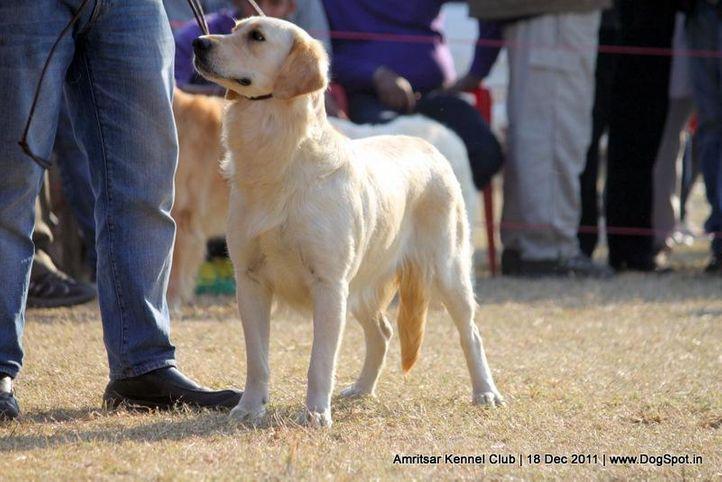 golden,sw-46,, Amritsar 2011, DogSpot.in