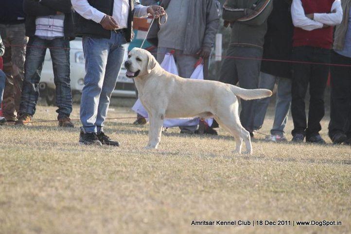 labrador,sw-46,, Amritsar 2011, DogSpot.in