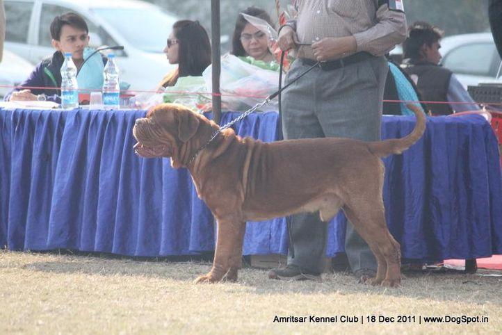 mastiff,sw-46,, Amritsar 2011, DogSpot.in