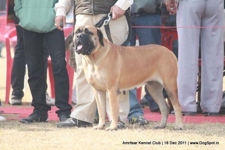 ex-185,mastiff,sw-46,, BUL BUL, Bullmastiff, DogSpot.in