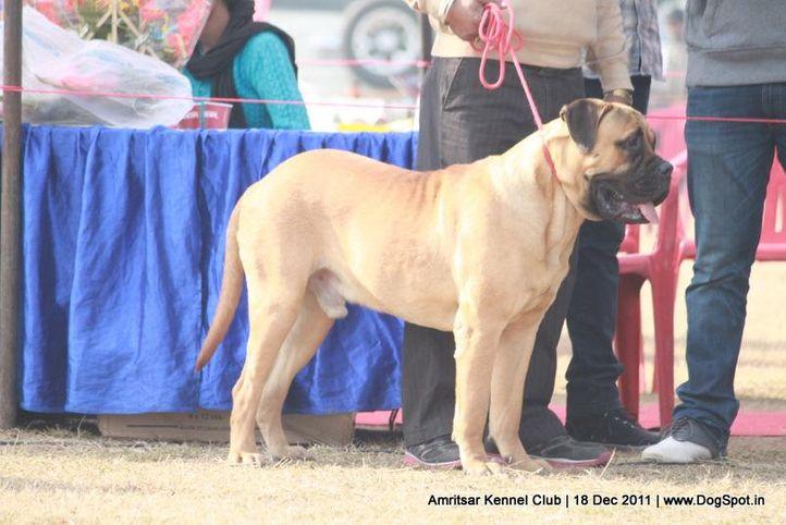 ex-186,mastiff,sw-46,, THEROGUARD LEO LOOK, Bullmastiff, DogSpot.in