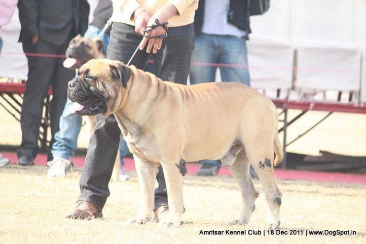 ex-189,mastiff,sw-46,, VALENTIONO'S BADSHAH, Bullmastiff, DogSpot.in