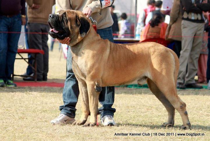 ex-213,mastiff,sw-46,, SANGWAN'S TIGER, Mastiff- English, DogSpot.in